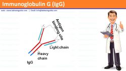Immunoglobulin G (IgG)