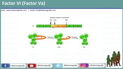 Factor VI