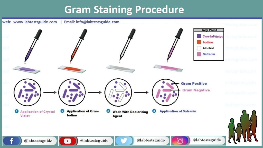 Gram Stain Procedure