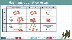 Haemagglutionation Assay