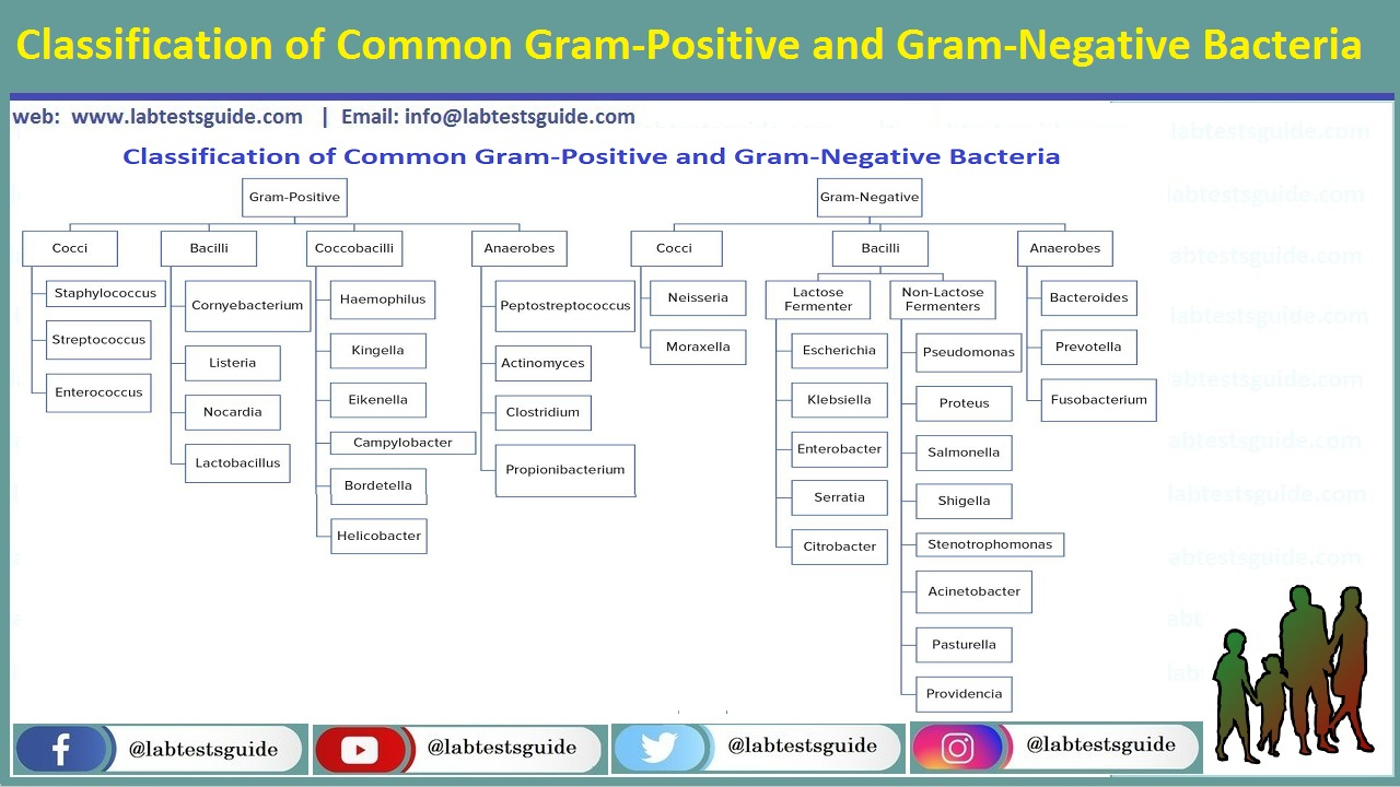 Classification of Common Gram-Positive and Gram-Negative Bacteria